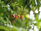 柏联普洱吃水果长大的茶叶