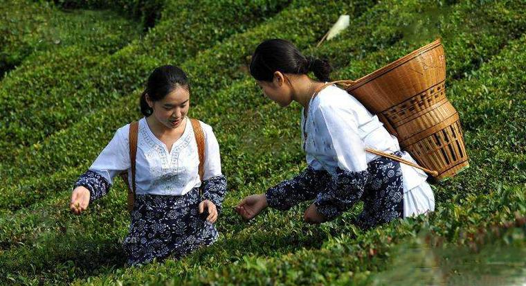 映马云池茶的生产流程