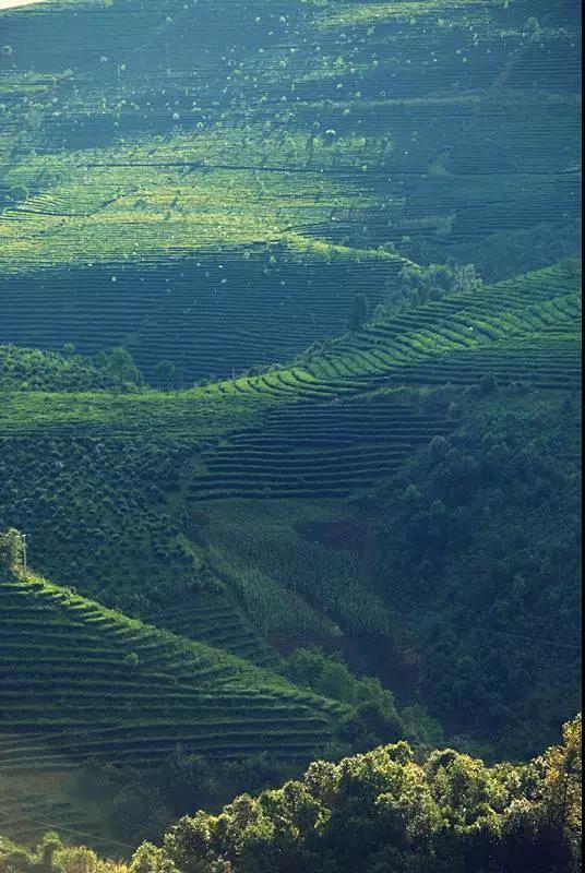 板山问道丨普洱没有名茶山?