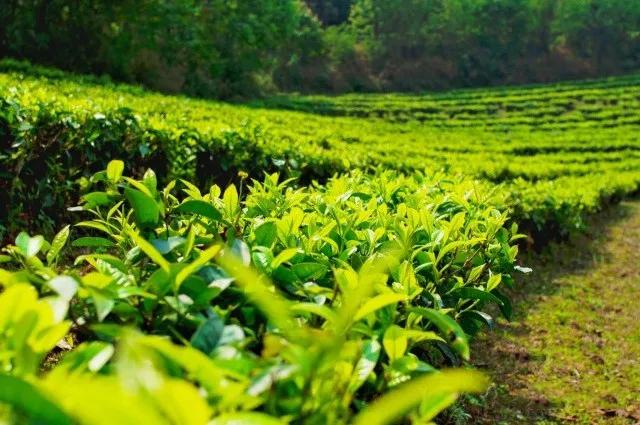 佤山映象建设生态有机茶园
