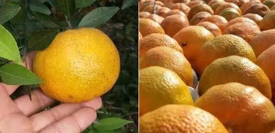 冬饮良品一球·大红柑,冬日里的温润阳光