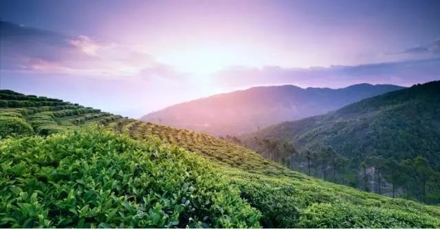龙润茶新品寿眉|绿色健康,滋味鲜爽