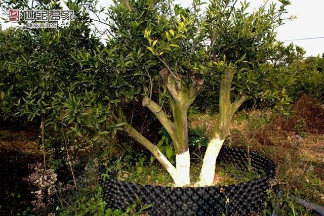 柑园师傅说,这棵仙级老柑树是镇园之宝,在乎的是它的精神,哪怕它不再