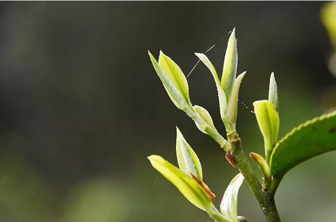 4000株古茶树,1095个日夜守护,这3年春光美是天地灵气的护佑。