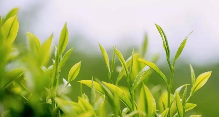 龙润茶·绿茶,来自秘境江城的清爽原味!