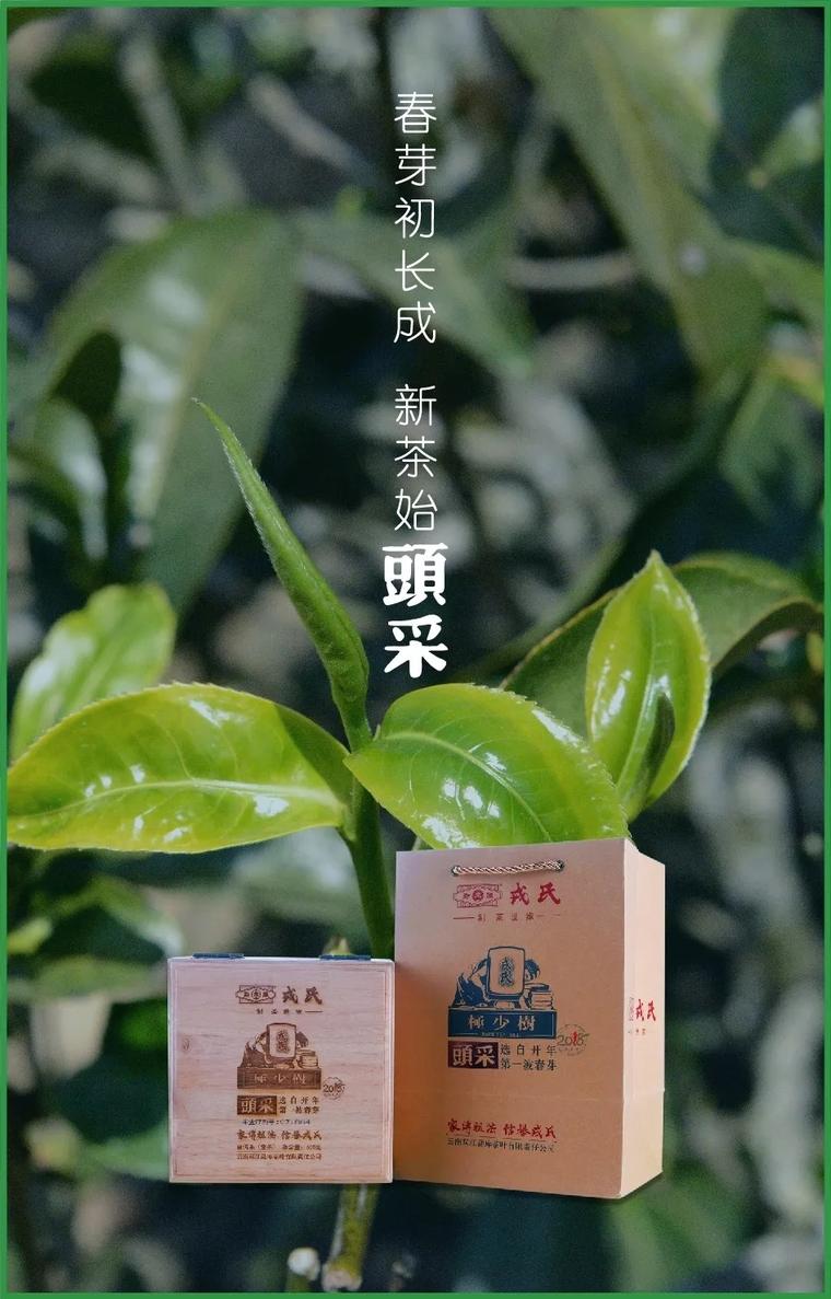 勐库戎氏头采茶:春芽初长成新茶始头采