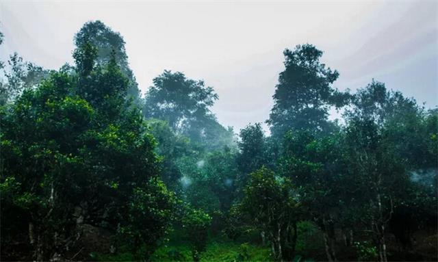 生态环境好的地方能长出好的古树普洱茶?