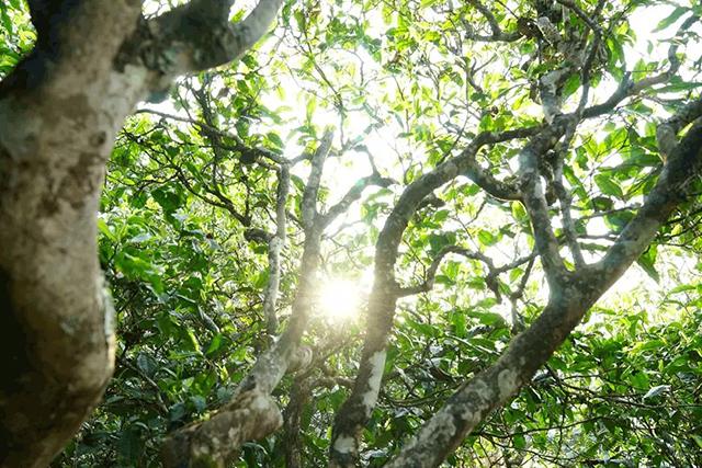 【茶事】雨季为什么不能采摘普洱古树茶?