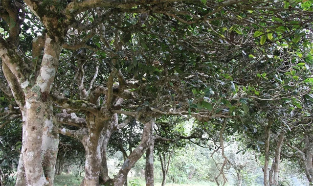 【阮殿蓉说茶】天人合一古茶树