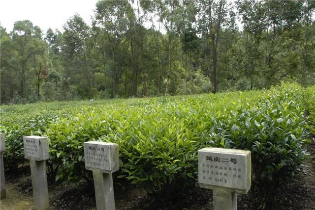 【普洱茶再发现】一个王城的种茶史