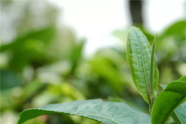 【普洱茶再发现】白莺山:古茶博物馆