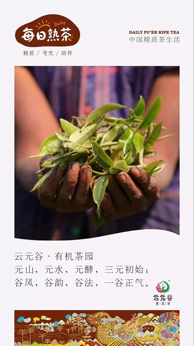 云元谷每日熟茶为什么发酵堆一般都是梯形的?