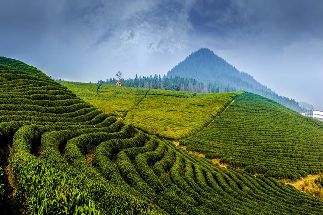 【下关沱茶】悠悠岁月,漫漫茶香——倚邦茶山
