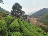 滇红集团春茶生产即将拉开帷幕!