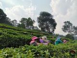 春茶采摘正当时,滇红集团小青树有机茶园里一片繁忙!