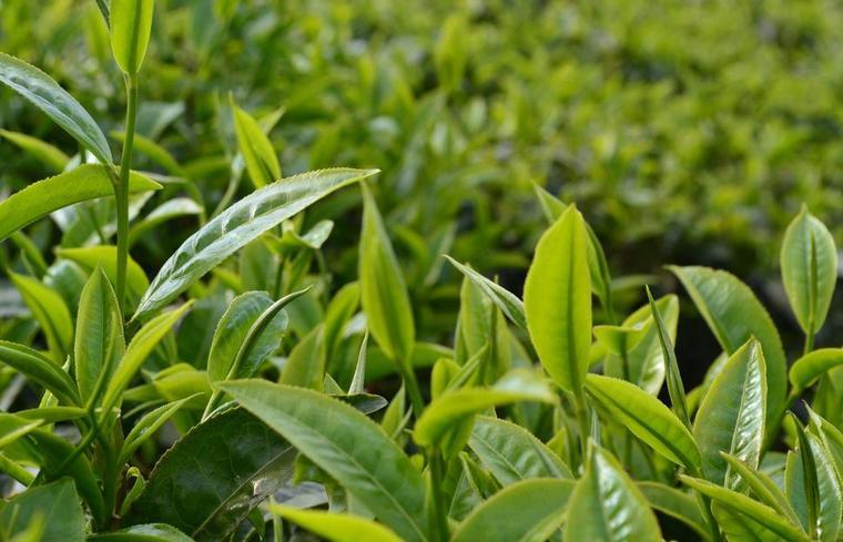 云南农业�y�k��d_太璞背后的故事: 云南茶产业的科技摇篮--云南省农业