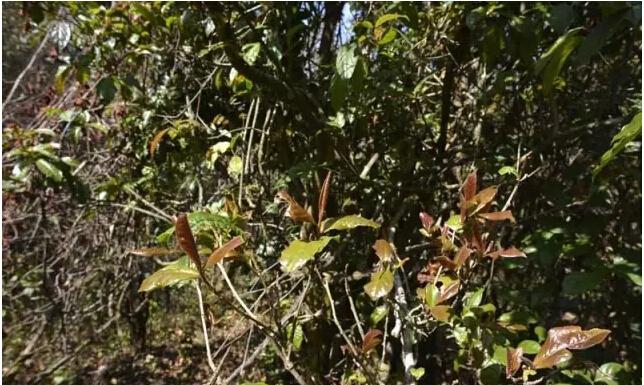 野生茶是没有经过人类栽培驯化利用的茶树,野生茶是茶树的源头,是人类研究茶叶发展的活化石。野生茶多生长于人迹罕至的原始森林深处,不显毫,口感酸涩,制作成普洱生茶品质多不理想。经不断深入研制,制成红茶,经过发酵后,去除了野生茶的寒凉呆滞茶性和酸涩的口感,香气好,甜度高,汤感饱满,品感非常不错。          包装规格:5克/袋,20袋/盒   品鉴价格:286元/盒