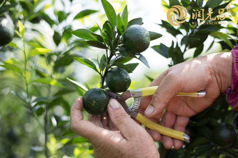 柑普茶为什么一定要新会核心产区柑和春茶发酵的熟茶?