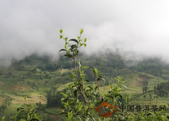 勐库大叶种,普洱茶原料的极品