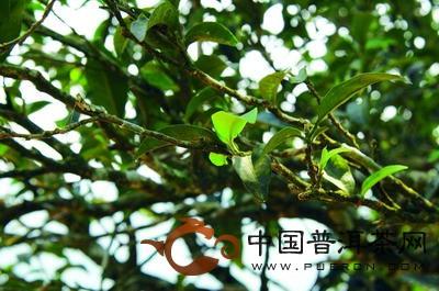 细胞组织结构与栽培型茶树相同