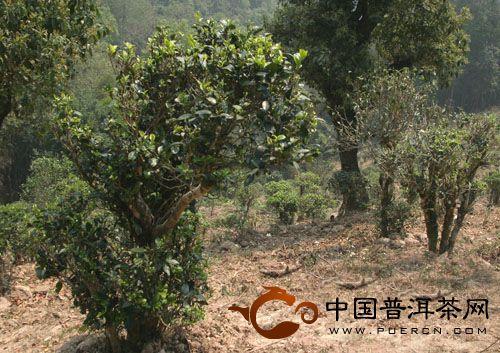 普洱茶产地曼撒古茶山