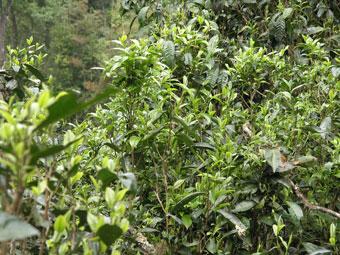 南峤古茶山普洱茶产地