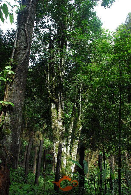 巴达古茶山野生古茶树