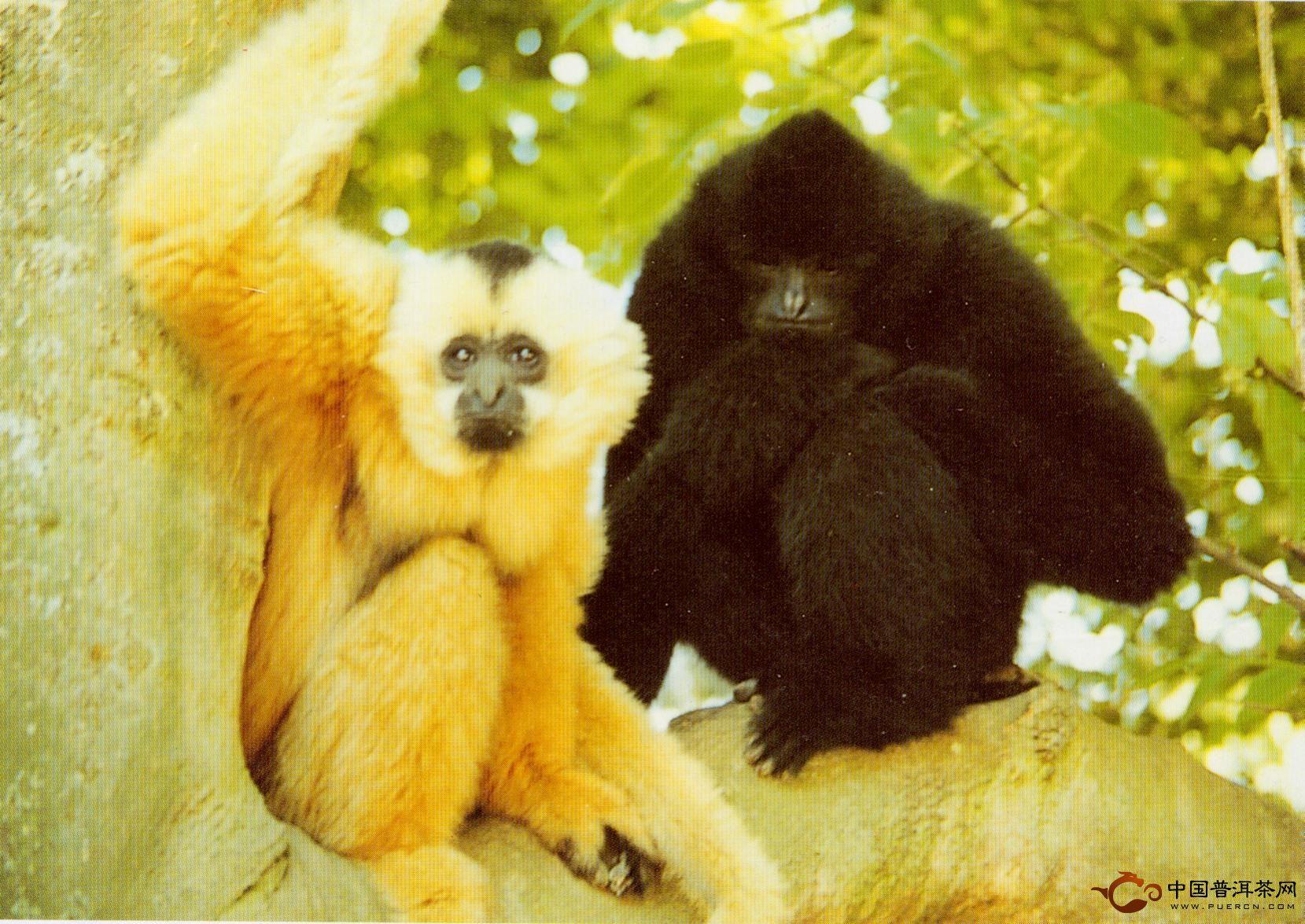 茶马古道无量山上的黑冠长臂猿