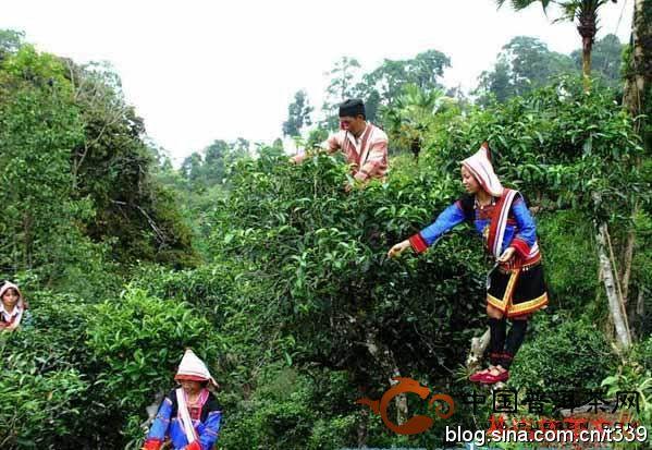 古六大茶山之首攸乐山的基诺族文化与茶文化