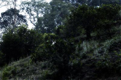 古树茶园风景真实图片