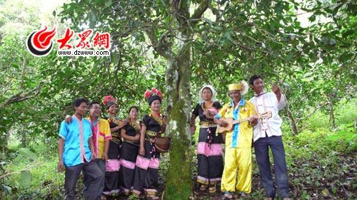 布朗山千年普洱茶树焕新春