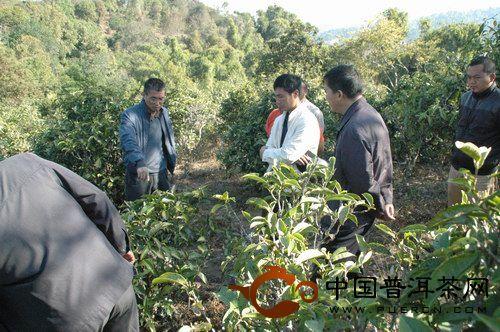 六大茶山:云南省茶科所一行前往贺开茶山实地踏勘