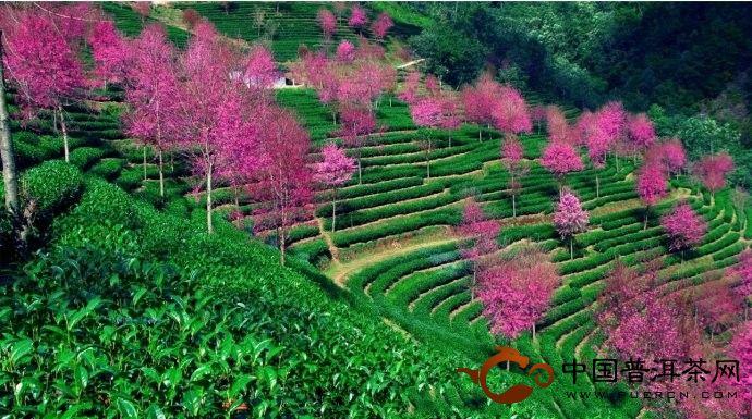 南涧生态茶园