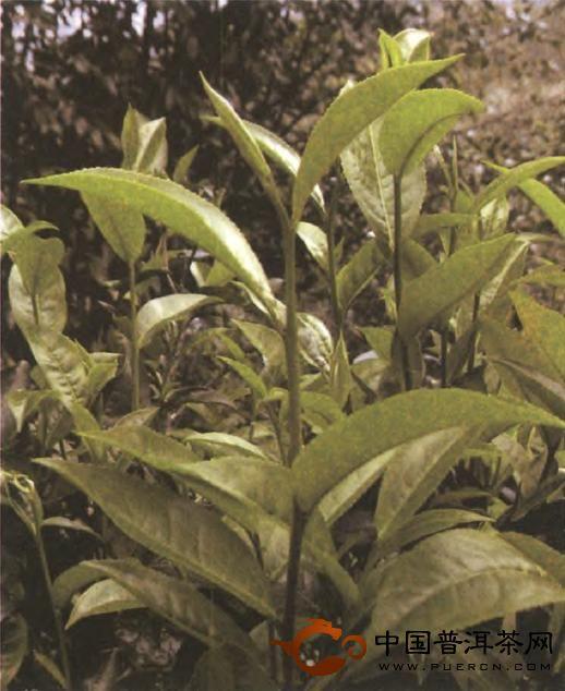 当代普洱茶的产区