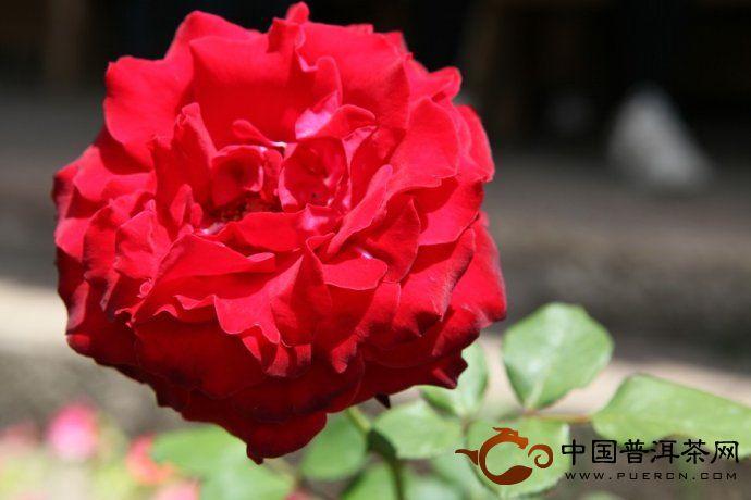 那柯里-红花