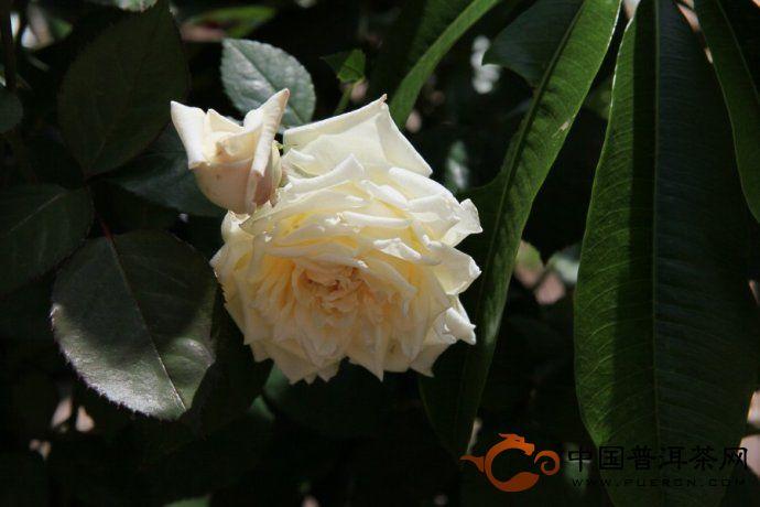 那柯里--花