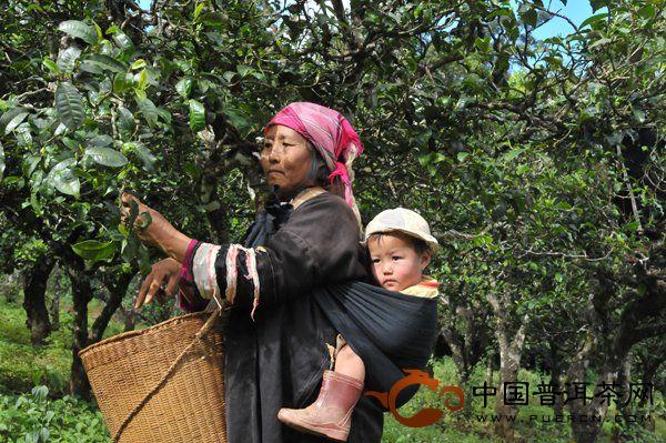采茶的拉祜族老人