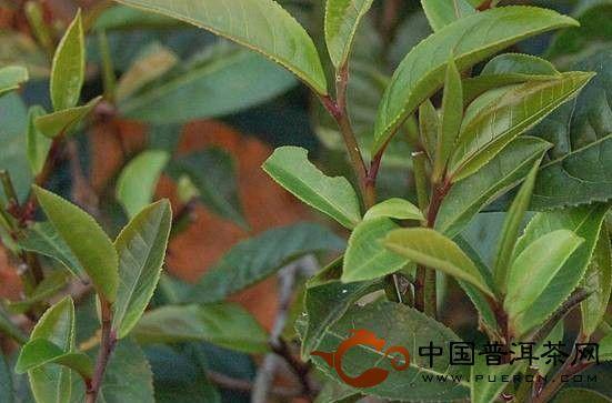 大滇说茶(89):勐腊古树茶
