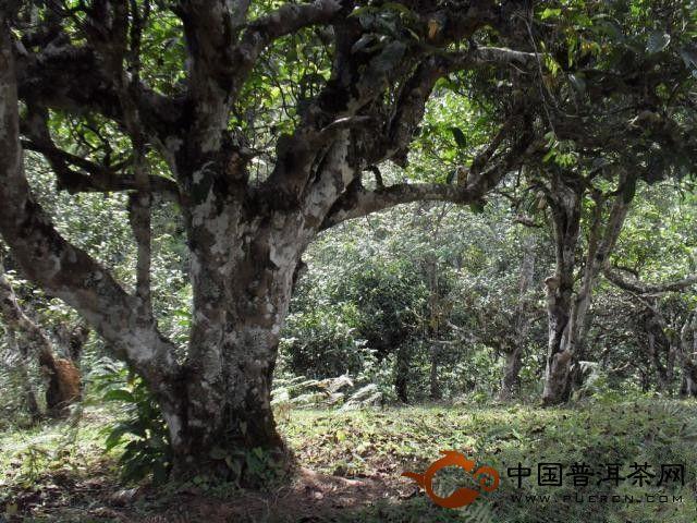 勐海古茶园高清记录片《茶乡探秘》