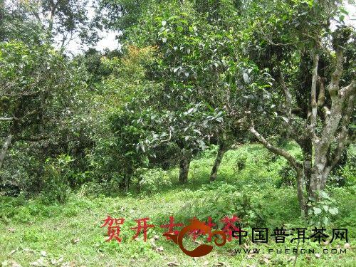 布朗山,贺开产区的普洱茶综合评价
