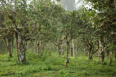 南本老寨古树茶产区