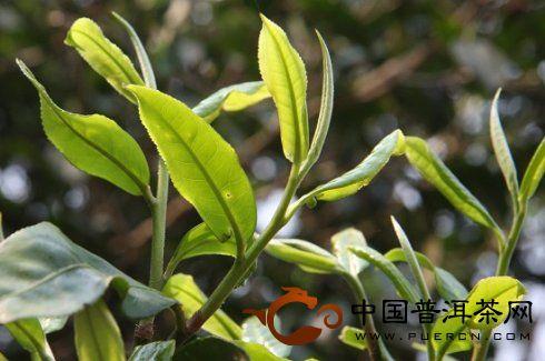 2012年4月茶山行:帕沙古茶山、勐海茶科所、老班章、景迈山古茶园