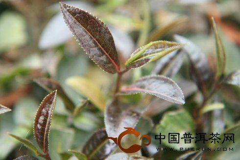 2012年4月茶山行:勐海茶科所的紫娟