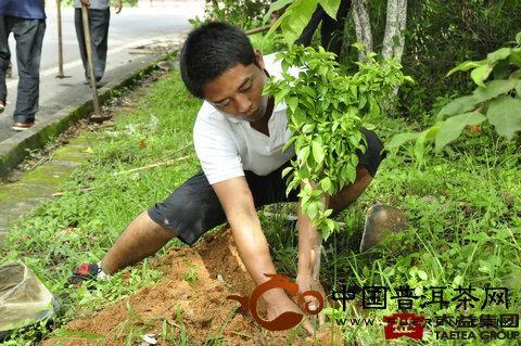 茶厂员工认真栽培