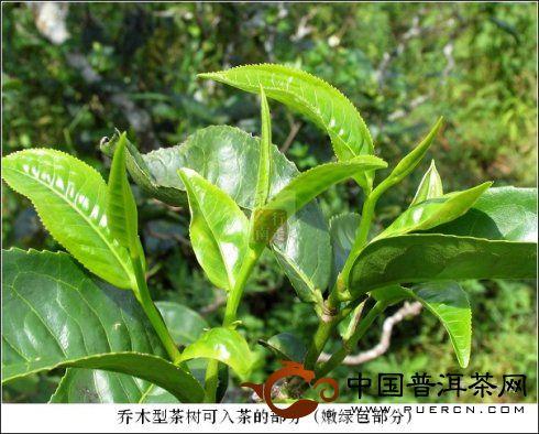 乔木型茶树