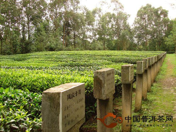 凤庆茶科所品种园