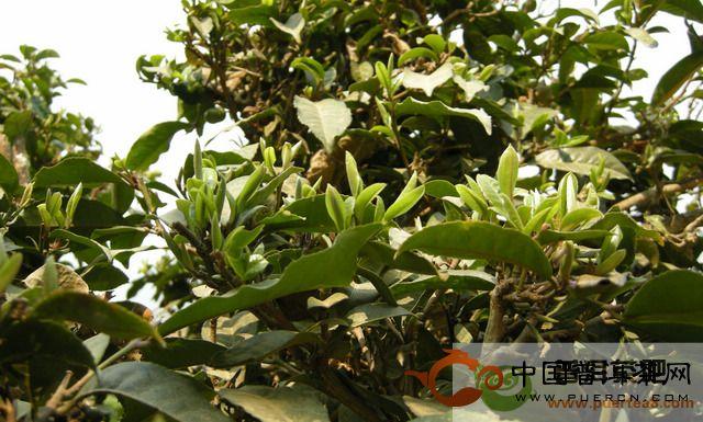 大滇说茶(78):勐海古树茶之二图片