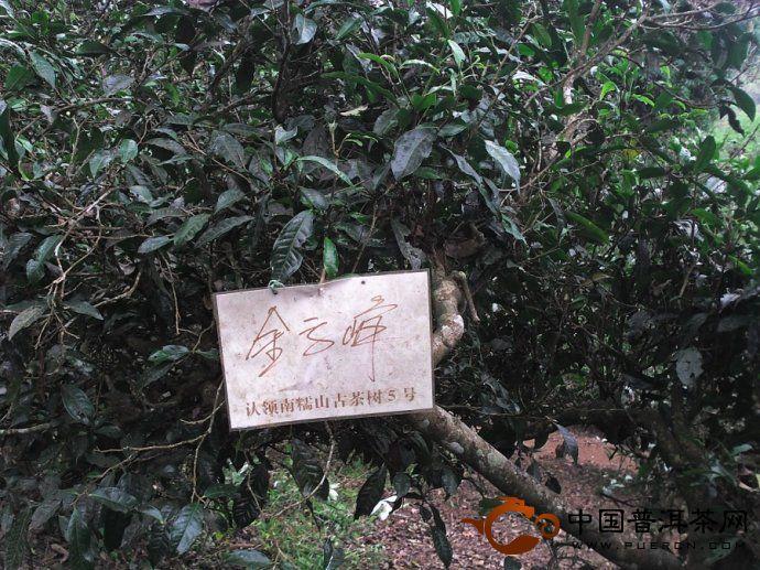 南糯山古茶树