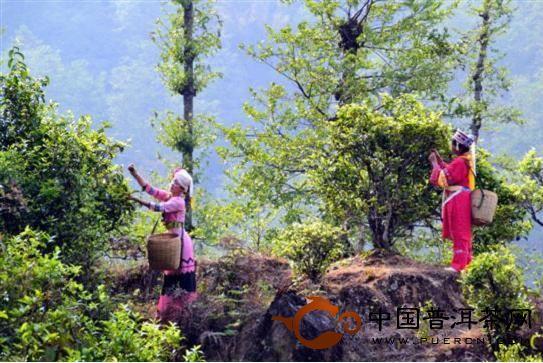 云南凤庆大雪山永和古茶园图片