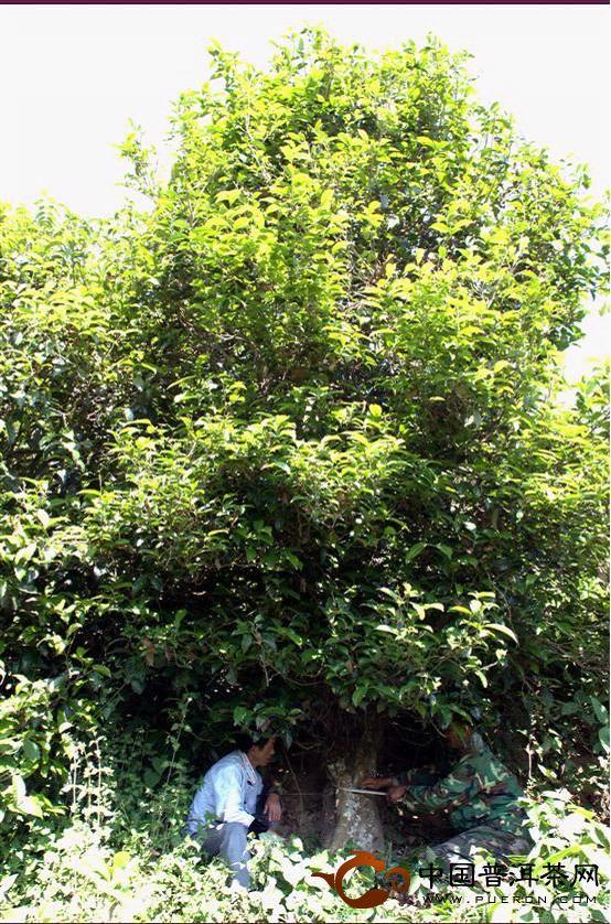 查看古茶树生长状况